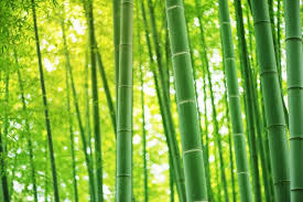 Bamboo_with sunlight